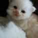 Uno de nuestro gatitos persa