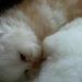 Nuestros gatitos persa...