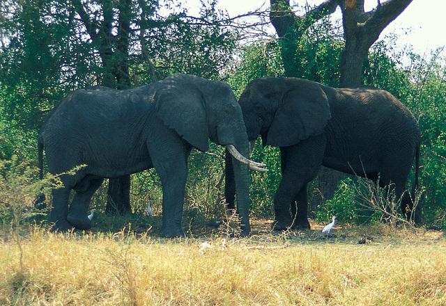 Elephant head to head
