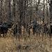 Buffalo Watching us Watching Them