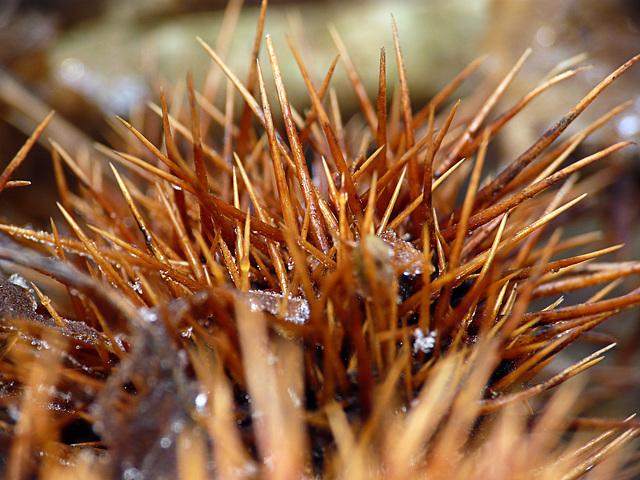 Chesnut Spikes