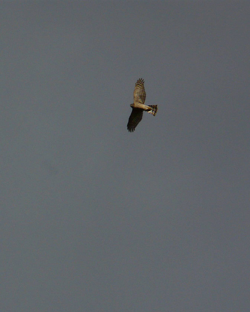 Sparrow Hawk @ Filsham 2