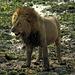 Crazed Lion