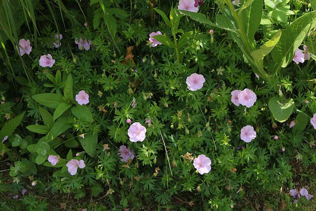 Geranium sanguin rose