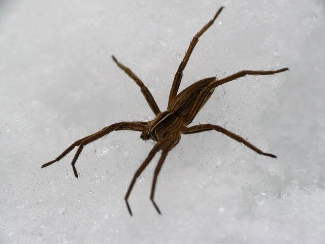 Nursery Web Spider on Ice 3