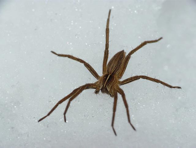 Nursery Web Spider on Ice 1