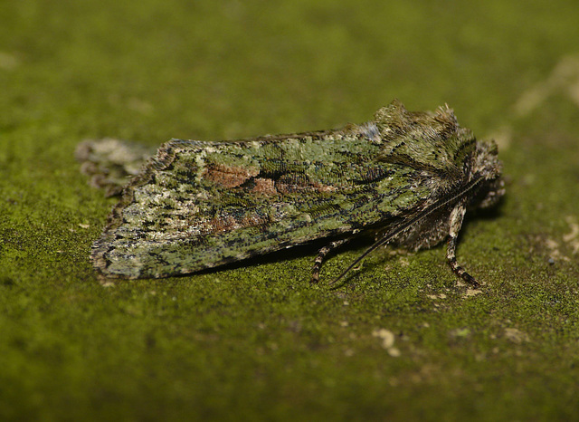 Brindled Green -Side