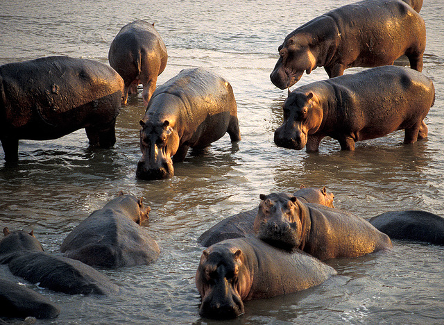 Hippos Afternoon Bathing