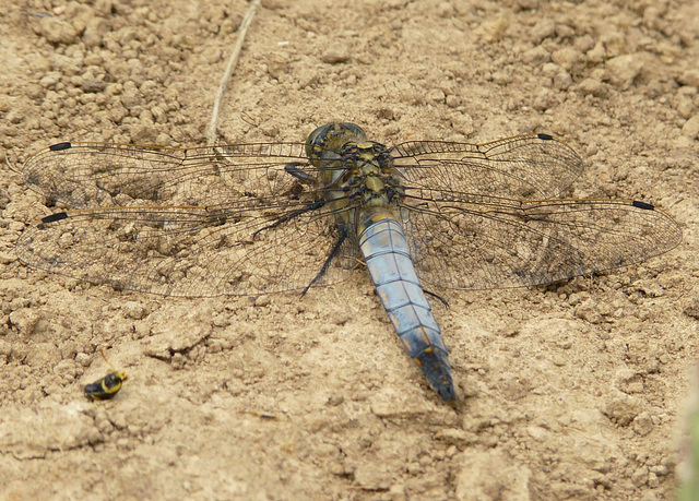 Black Tailed Skimmer -Male Top