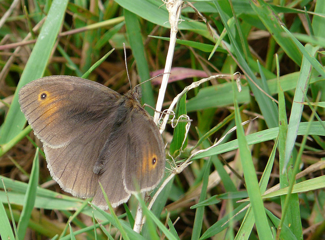 Meadow Brown -Female