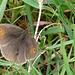 Meadow Brown -Female