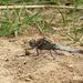 Black Tailed Skimmer -Male Side