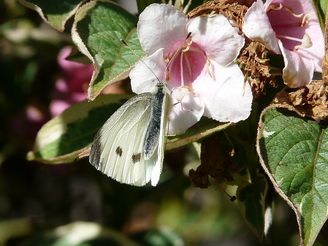 Large White -Male