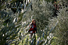 Amandine et les oliviers