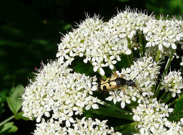 A Longhorn Beetle