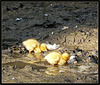 Mallard Chicks -Male