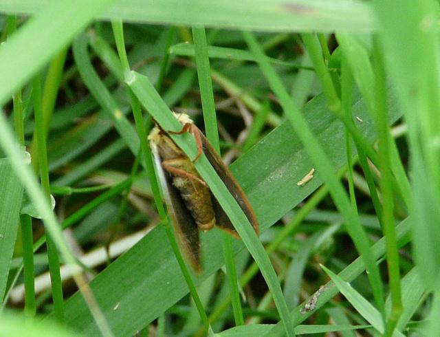 Ghost Moth Underside