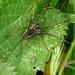Nursery Web Spider Dark Color