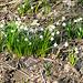 Wanderung im romantischen Polenztal zur Märzenbecherblüte