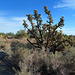 Big Cholla (2273)