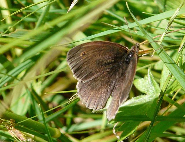 Meadow Brown -Male
