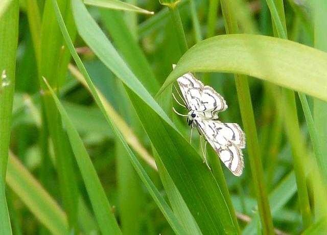 Beautiful China-mark Moth