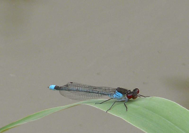 Large Red-Eyed Damselfly -Male
