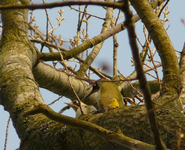 Green Woodpecker Pair