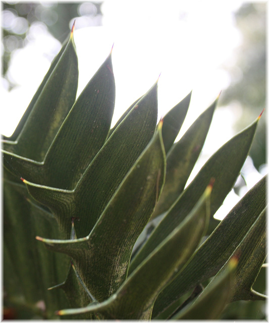 Palmfarnblatt