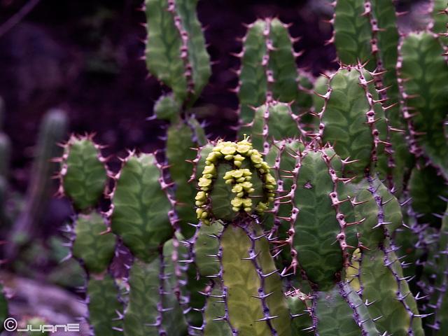 Euphorbia pseudocactus (EUPHORBIACEAE)