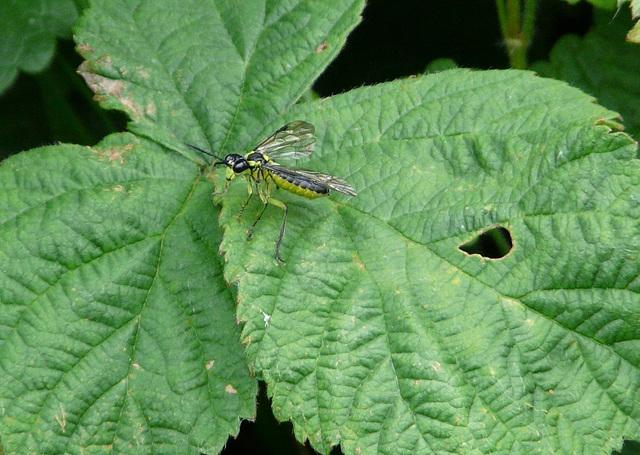 Sawfly (Tenthredo Mesomelas)