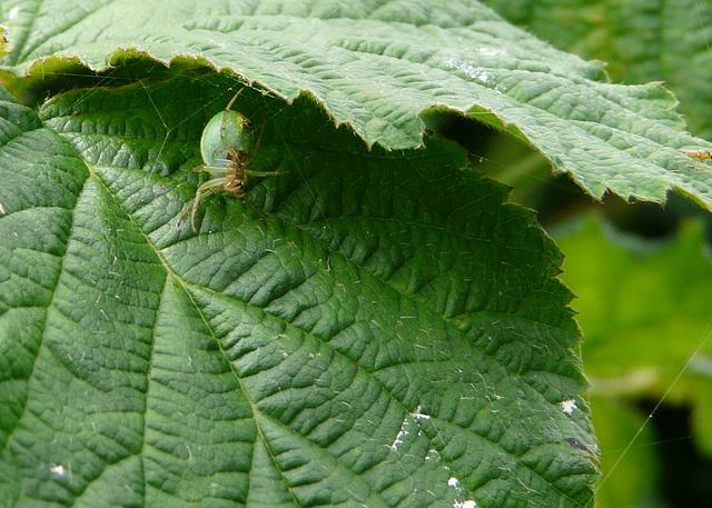 Green Orb Weaver