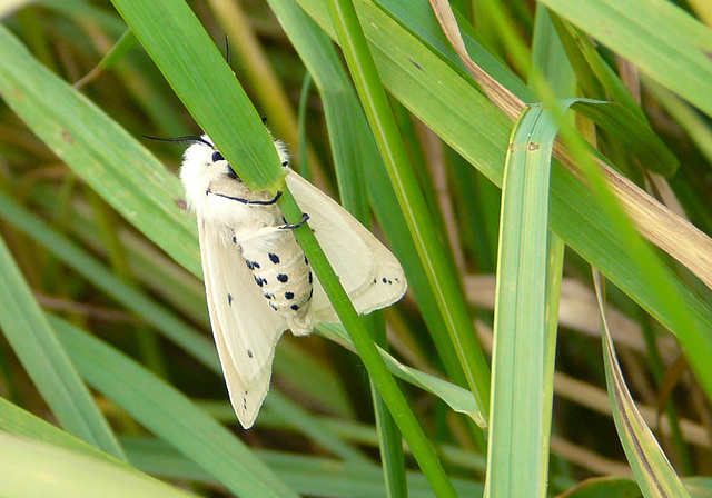White Ermine - Bottom