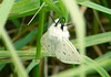 White Ermine Back