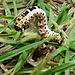 Magpie Moth Caterpillar -Side 1