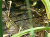 Marsh Frog - Sideish