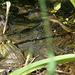 Marsh Frog - Sideish