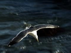 Merlin's Gull
