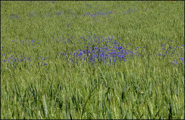 Champs de blé avec Bleuets