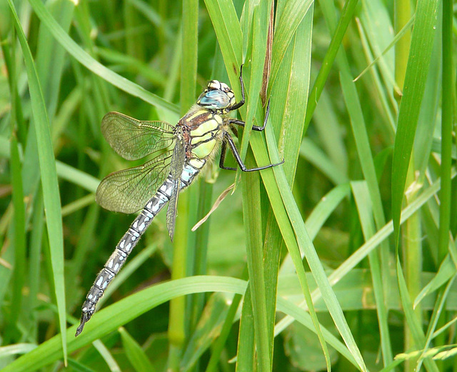 Hairy Dragonfly - Male side