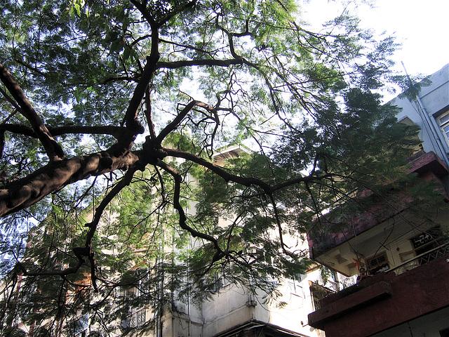 nim tree
