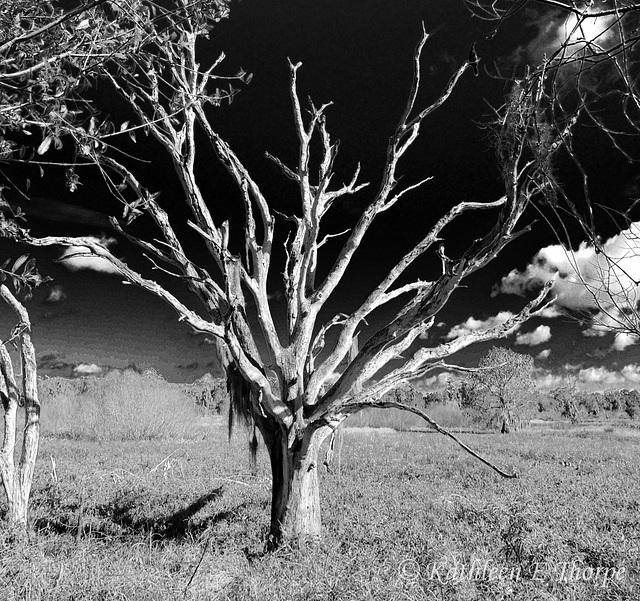 Dead Tree b&w 011514-1