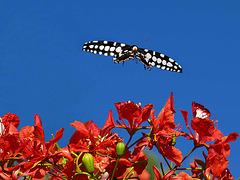 PB285351ac Butterfly Landing on Flamboyant Flowers
