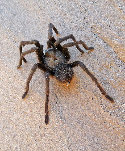 Tarantula (2313)