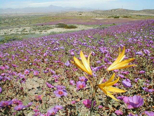 Le Chili encore accablé : le désert d'Atacama noyé sous la boue, l'état d'urgence décrété...