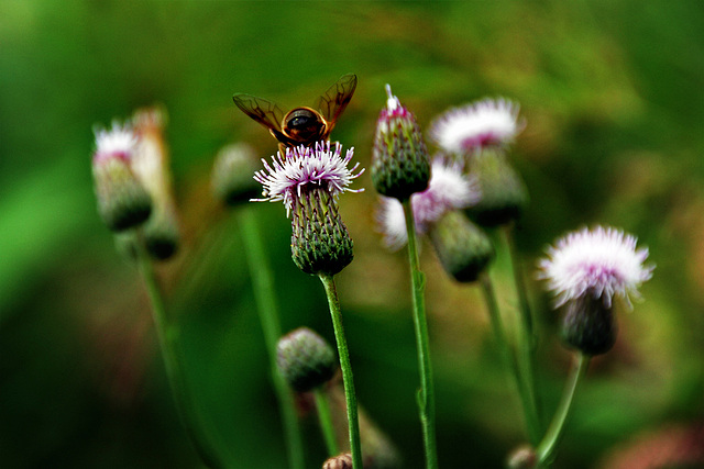 Bumble-bee from behind...........