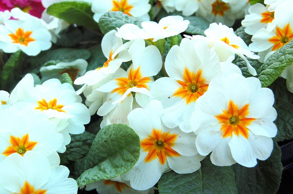 Florosonĝo - Blütentraum