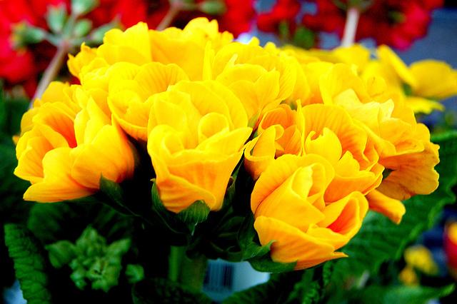 Flavaj ravaj rozoj - Gelbe bezaubernde Rosen