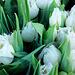 Blankaj tulipoj