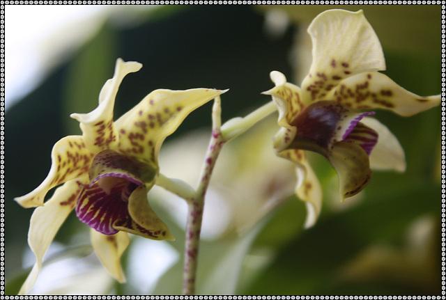 Dendrobium  atroviovielaceum